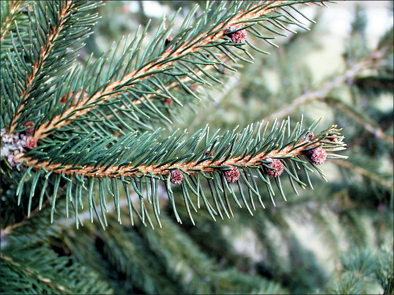 norway-spruce-tree