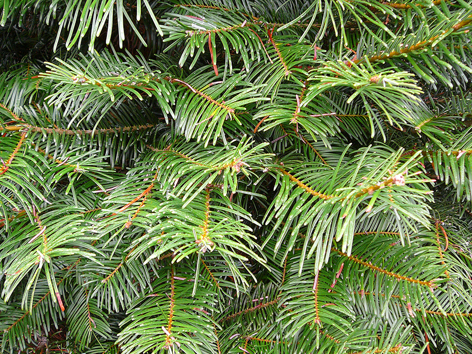 xmas-tree-douglas-fir